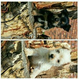 Morkie puppies boys