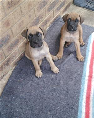 Female Purebred Bullmastiff Pups