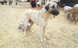 Anatolian Shepherd  X Puppies