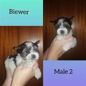Yorshire Terrier Male