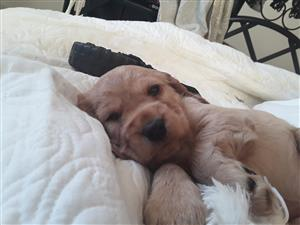Gorgeous cocker spaniel puppy,one left,a male..beautiful champagne colour