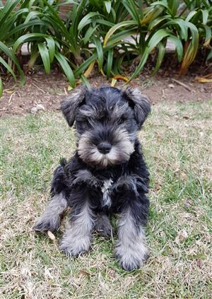 Salt and Pepper Miniature Schnauzer puppies