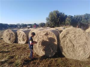 Eragrostis A grade 1.3m round bales