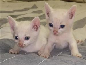Beautiful 3x pure white kittens for sale