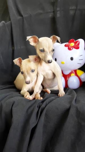 Miniature Italian Greyhound Puppies
