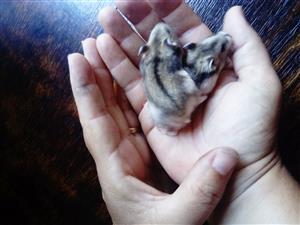 Hamsters. Dwarf Hamsters for R 50 each. Uitenhage
