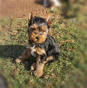 Female Yorkie puppy available