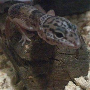 Two healthy leopard geckos for sale with cage