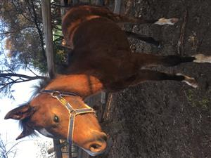 Arabian Mare Foal for sale