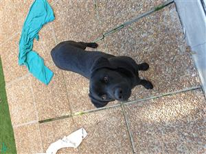 9 month black Labrador
