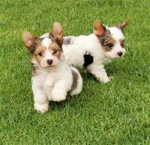 Blue diamond Blueberry Yorkie puppies