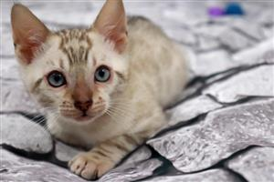 Gorgeous Bengal Kittens for sale