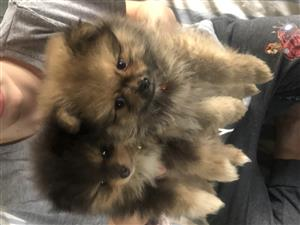 Toy Pom pups for sale