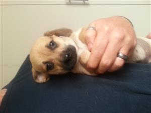 Jack Russell X Pekingese pup