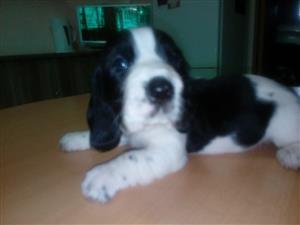 Basset X Spaniel puppies