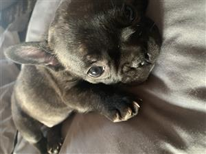 french bulldog in Pets in Gauteng | Junk Mail