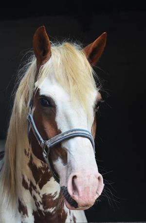 Show Stopping Stallion