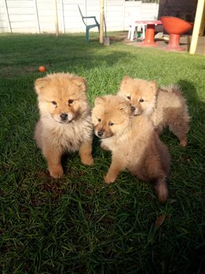 Purebred Chow Chow