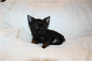 Stunning yorkie male puppies