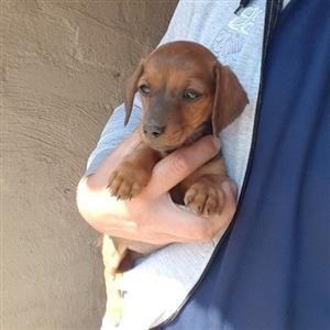 Miniature Dachshund female pups