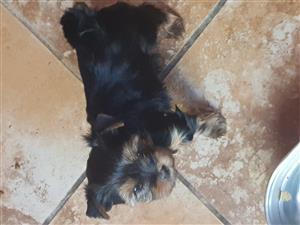 Pragtige Yorshire terrier Puppies