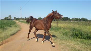 TWO ARABIAN HORSES FOR SALE