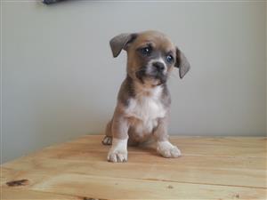 Jack Russell X Pekingese puppies