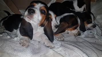 BASSET HOUNDS ONLY 2 LEFT!!