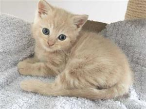 Good looking British shorthair kittens for sale.