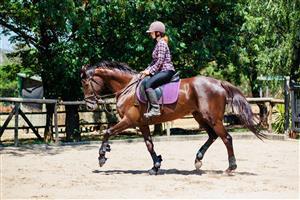 Stunning liver chestnut mare