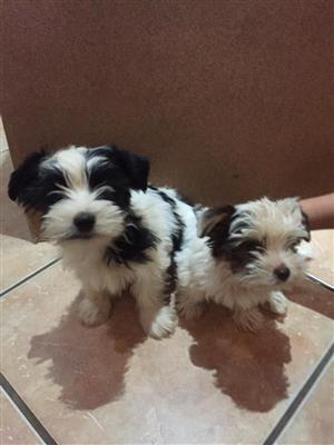 Biewer Yorkies available