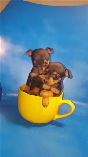 Extra Small Miniature Doberman Pincher Puppies