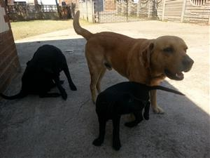 Healthy Labrador Female Puppy for sale