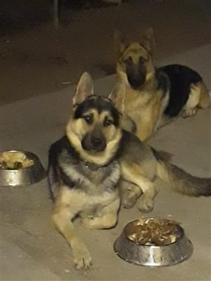 German Shepherd Puppies - Polokwane