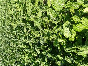 Spinach (Swish Chard) for sale