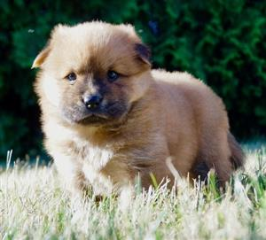 Beautiful litlle Chow chow puppies.
