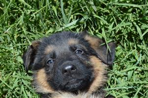 Registered German Shepherd puppies