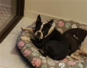 1 year old male Boston Terrier R1500