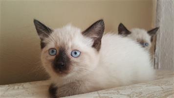 Purebred Chocolate point Siamese Kittens
