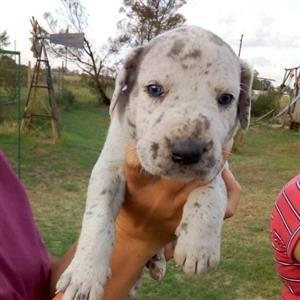 Great Dane puppys