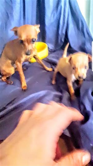 Miniature Bokkie Doberman Pincher Puppies