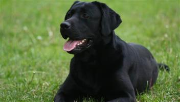 2 x Black Labrador Dogs For Sale