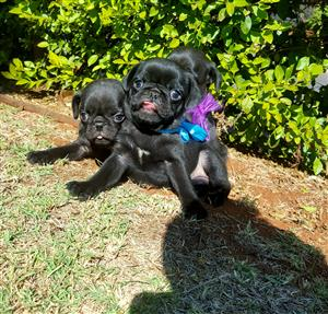 Black male pug puppies AVAILABLE!!!