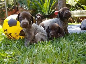 German Shorthaired Pointer (GSP) Puppies