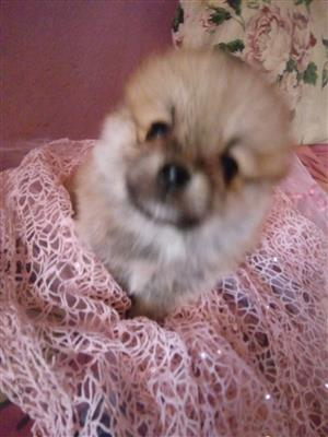 Miniature Pomeranian Male