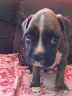 pedigree boxer puppies