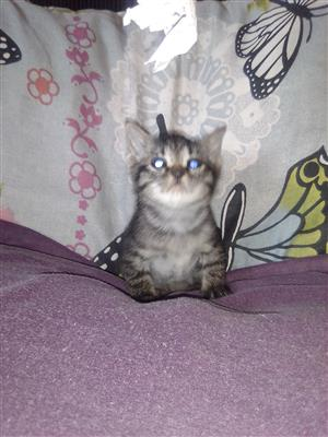 Bengal x kittens available to approved home