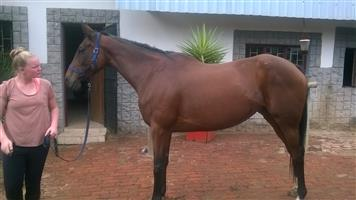 Beautifull Thoroughbred Mare for sale