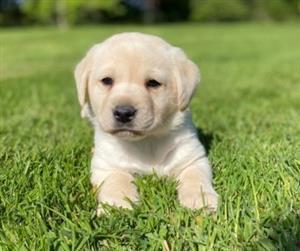 Labrador Puppies For Sale.