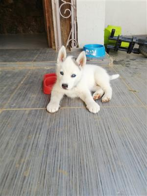 Husky Pup for sale